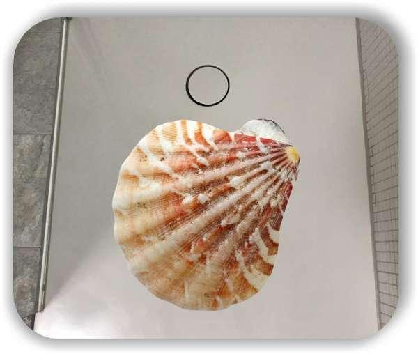 Anti-Rutsch Folie mit Digitaldruck - Muschel Motiv 1025